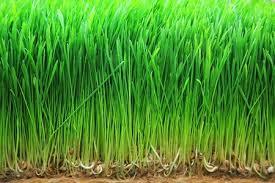 Skuteczny młody zielony jęczmień w diecie